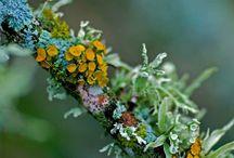 Lichens et Champignons / Lichen is symbiotic algae and fungi; mushrooms are fungi.