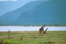 Tanzanie / D'immenses espaces cuits par le soleil d'Afrique, des montagnes et des volcans jaillis des entrailles de la Terre, des animaux sauvages,des troupeaux par milliers  des savanes à l'infini ponctuées d'acacias et de baobabs...