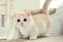 Munchkin Kitties!