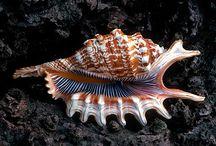 Lastury Seashell