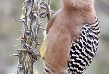 Woodpeckers and birds