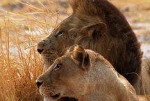 Lejon ❤