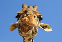Giraffes ! / by Melanie Gottshalk