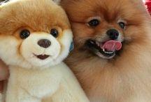 Pom dogs / ❤Pom dogs❤