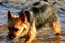 Australian Terriers