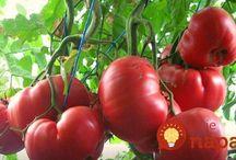 výživa rajčat
