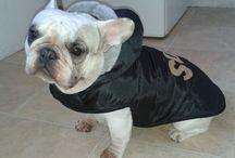 Francia Bulldogok / Minden ami francia bulldog! :)