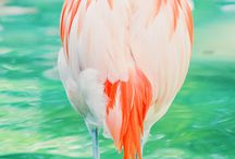 Flamants rose