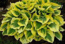 Plants - Hosta