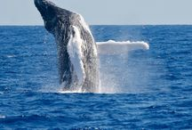 Whale Watching: Bermuda's Best Kept Secret / Bermuda's wild beauty comes to life in springtime, when majestic whales make their annual arrival to our crystal waters.  / by Bermuda