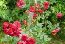 Сорта роз.