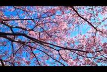Цветущие сакуры.