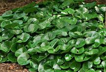 Ground-cover plants for clay and shade / Selection of plants for groundcover in clay and shade that stays reasonably moist