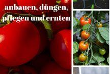 Tomaten / Paradeiser / Tomaten züchten, anpflanzen, anbinden, pflegen, mulchen und ernten - alles rund um das Thema der Paradeiser :)