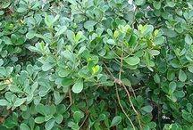 clusia (arbusto)