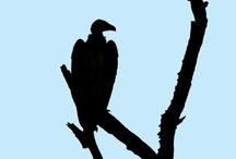 Vultures <')
