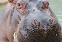 Jucinak hippo