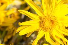 """Arnica montana Boiron / Una pianta dai 1000 volti, affascinante e misteriosa. Nota sin dall'antichità come """"erba benedetta della montagna"""", è utilizzata dai medici di tutto il mondo grazie alle sue proprietà, e ai suoi svariati campi di applicazione."""