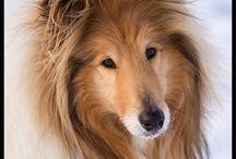 rough collie/lassie