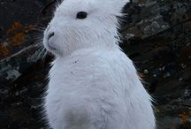Arctic Hare / Arctic hares can run like the wind, see everything around them without turning their heads, and sometimes eat animals instead of leaves – all while looking unbelievably cute.