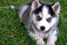 husky cute puppies