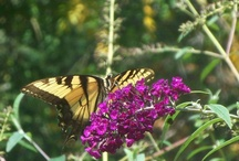 butterflies, my mom's fav