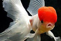 PECES JAPONESES / Estos peces son de agua dulce. Excelentes para tener en casa.