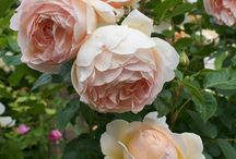 Everything's Coming Up Roses / Roses Galore!