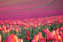 I Love Tulips, Pink Roses, Hydrangeas, etc....