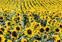 Goodland sunflowers / Sunflower crops in Sherman County, Kansas