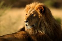 ANIMAL • Lion