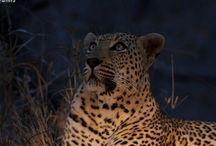 Mvula ( Male leopard)