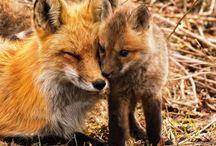 Tilki (Fox)
