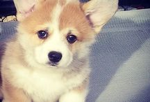 ♥Welsh Corgis♥