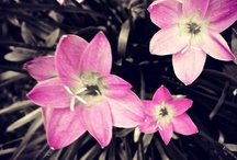 Flowers / Here you see flowers from the gardens of the Maldives. Flowers have hidden meanings, in the olden days in Maldives flowers were exchanged between lovers to communicate & share messages secretly...
