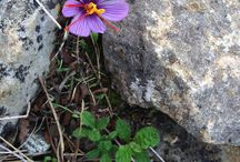 Wild Herbs & Flowers on Paros & Antiparos