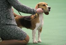 Beagle / Photos of the Beagle. / by American Kennel Club