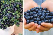 Planting Blueberries