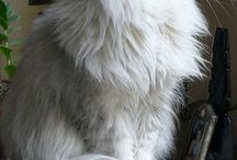 Persian Cats and pets