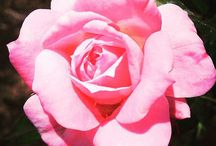 Love Pink / the lovely pink