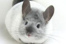 chinchilla is my love