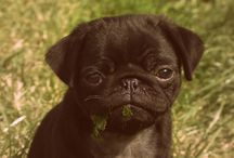 Pug Love! / by Sheena D'Andria Devine