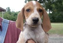 anglický mývalý pes(coonhound)