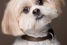 Cute Dog :: Shih Tzu