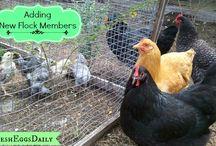 Farmstead // Poultry & Fowl