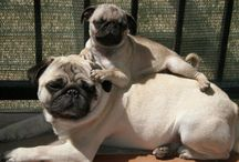 Pugs / by Andres Korngold
