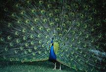 Animal - Peacock / by Deborah Martinez