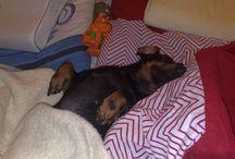Lady dog / My little one Dacshund