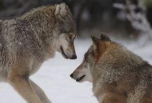 """Farkasok / """"A farkas jövője az ember kezében van. Ha elfogadjuk őt olyannak, amilyen a valóságban – nem problémamentes állat, mégis képes velünk élni –, akkor visszatérhet. De ha továbbra is félünk tőle és gyűlöljük, akkor nincs esélye. Tehát a bennünk kialakult kép dönti el a sorsát. """"  Már gyerekkoromban sem féltem tőlük. Csodáltam méltóságteljes magatartásukat.  A Dzsungel könyvében nekem nem Maugli volt a kedvenc hősöm, hanem AKELA."""