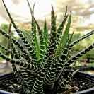 My succulents / Succulents